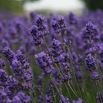 billede af Lavendel, som kan hjælpe dig til en bedre søvn.